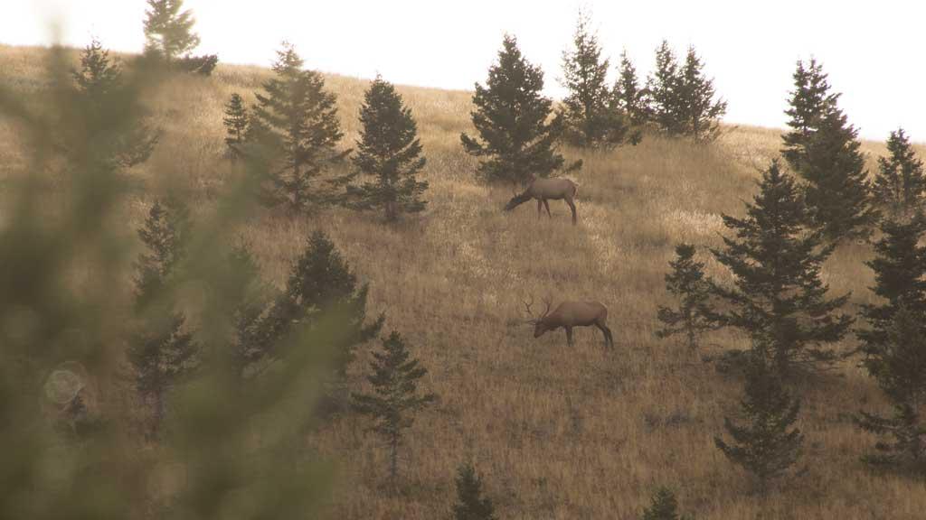 Understanding Elk Calls